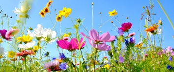 Blumenwiese - Hintergrund Panorama - Sommerblumen