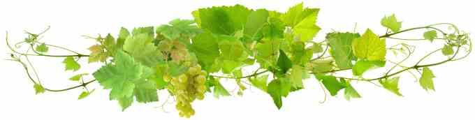 grappe de raisin blanc et pampres de vigne, fond blanc
